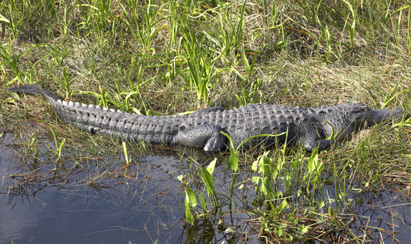 American Alligator can be seen on Kissimmee Airboat Tour