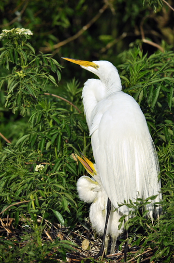Egret photo from Orlando attraction