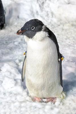 Penguin at SeaWorld